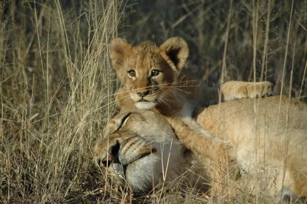 Lion-Sands-Lion-5