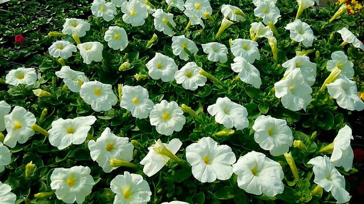 Flores de inverno para seu casamento revista caseme caseme for Petunie inverno