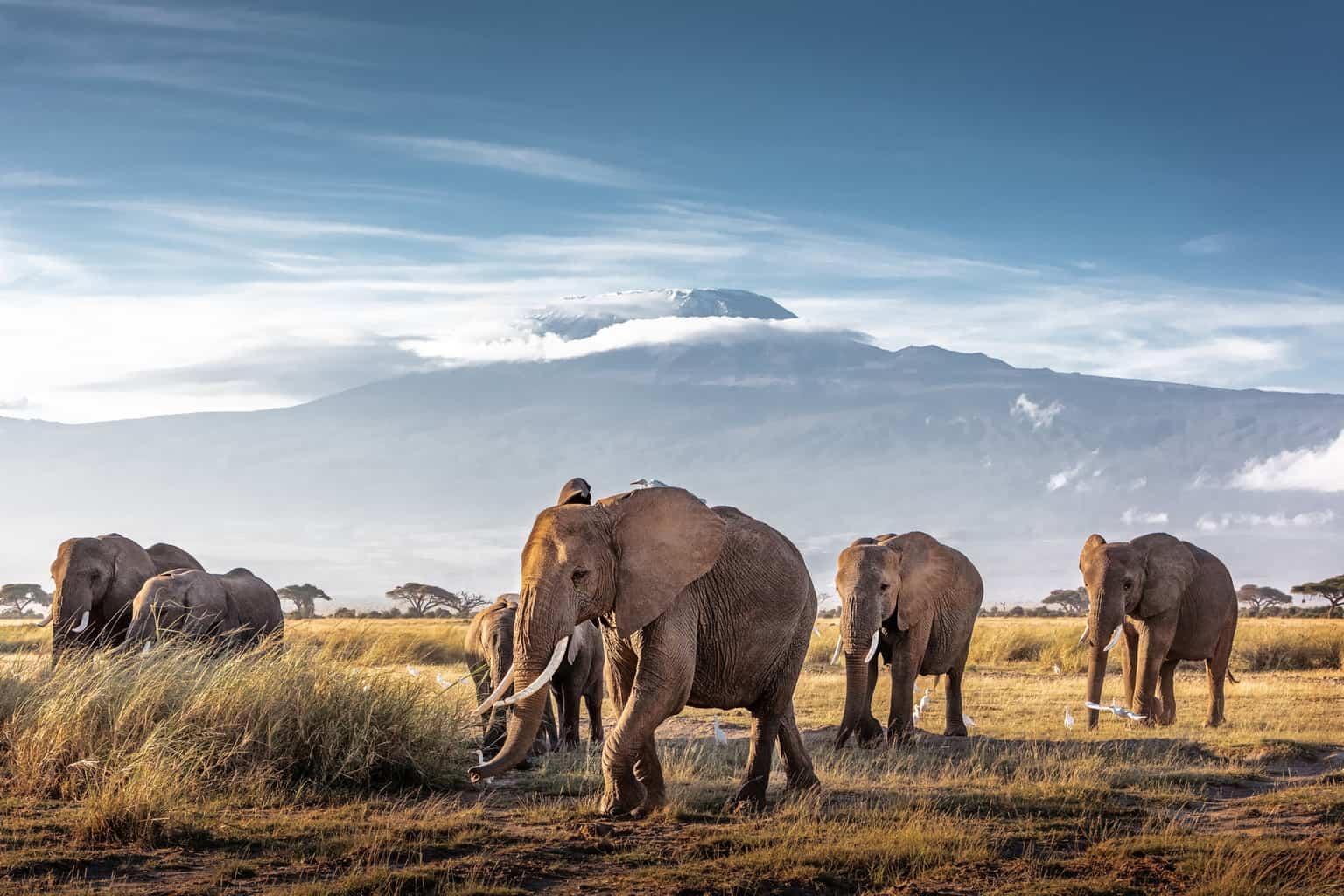 O-Parque-Nacional-Amboseli-é-conhecido-como-uma-das-regiões-da-África-com-a-maior-concentração-de-elefantes-que-circula-livremente-pelos-seus-arredores.
