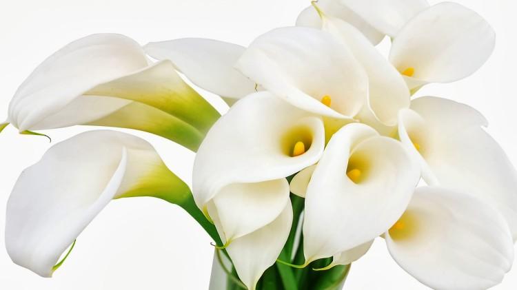 calla-lilies-flowers-750x421